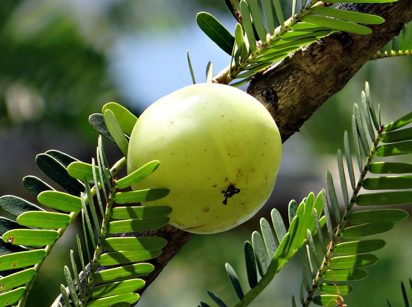 Amla Berry (Indian Gooseberry) for Muscle Strength