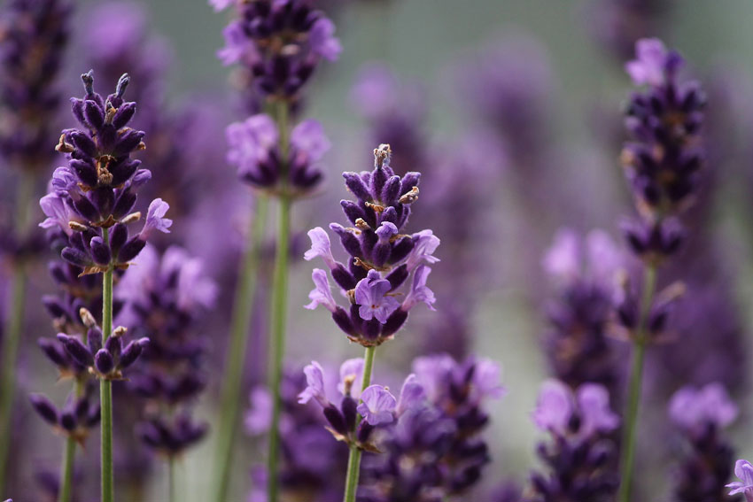 1. Lavender Essential Oil